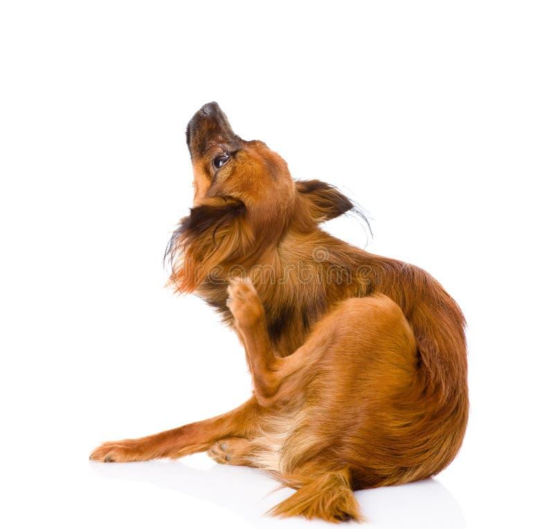 Rasguño ruso del terrier de juguete Aislado en el fondo blanco foto de archivo libre de regalías