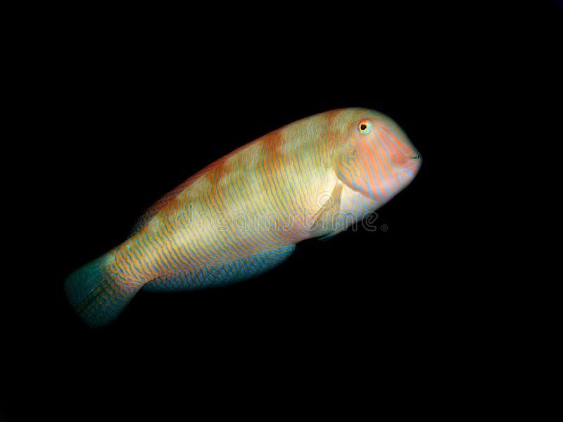 rasoir de poissons image stock