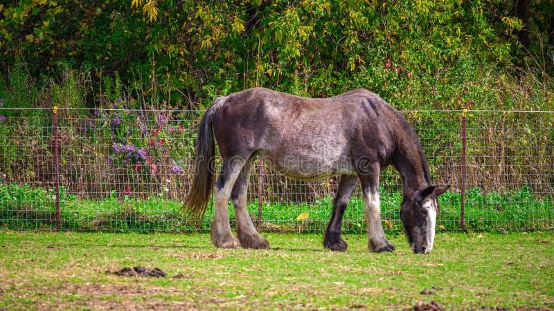 Rasoirs de Cheval de pâture pour l'herbe images libres de droits