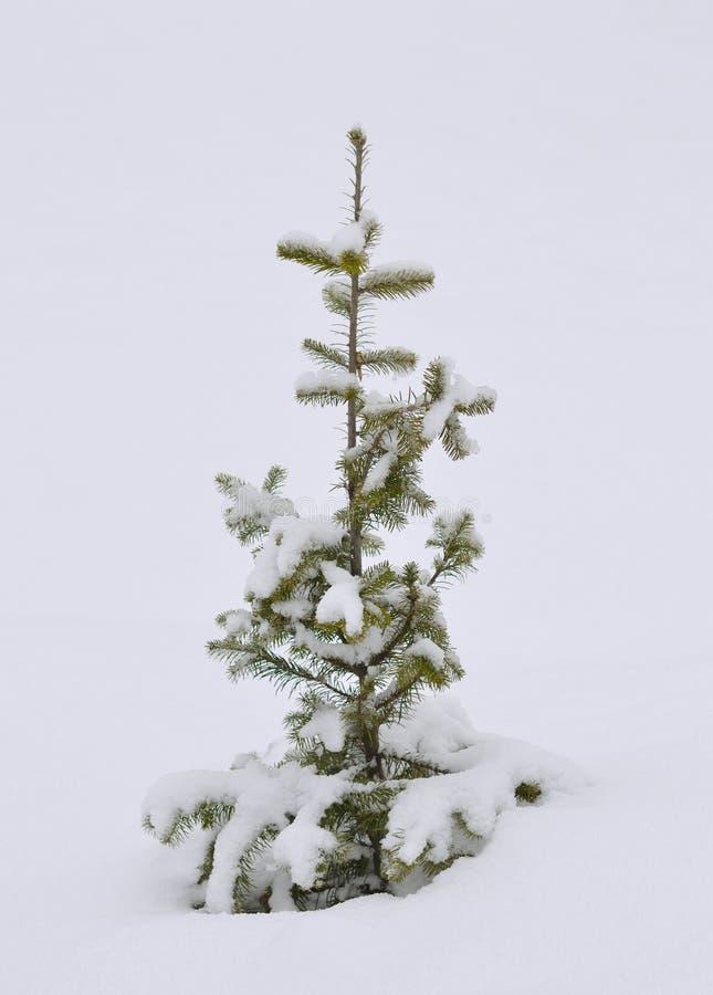 Raspa de arenque en la nieve fotos de archivo libres de regalías
