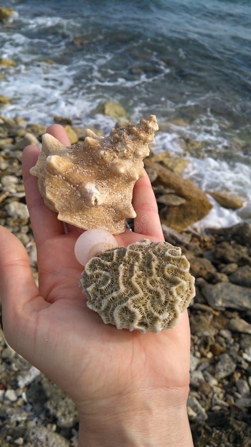 Raspane soll und Koralle stockbilder