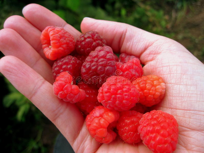 Download Raspberries Royalty Free Stock Photo - Image: 24778005