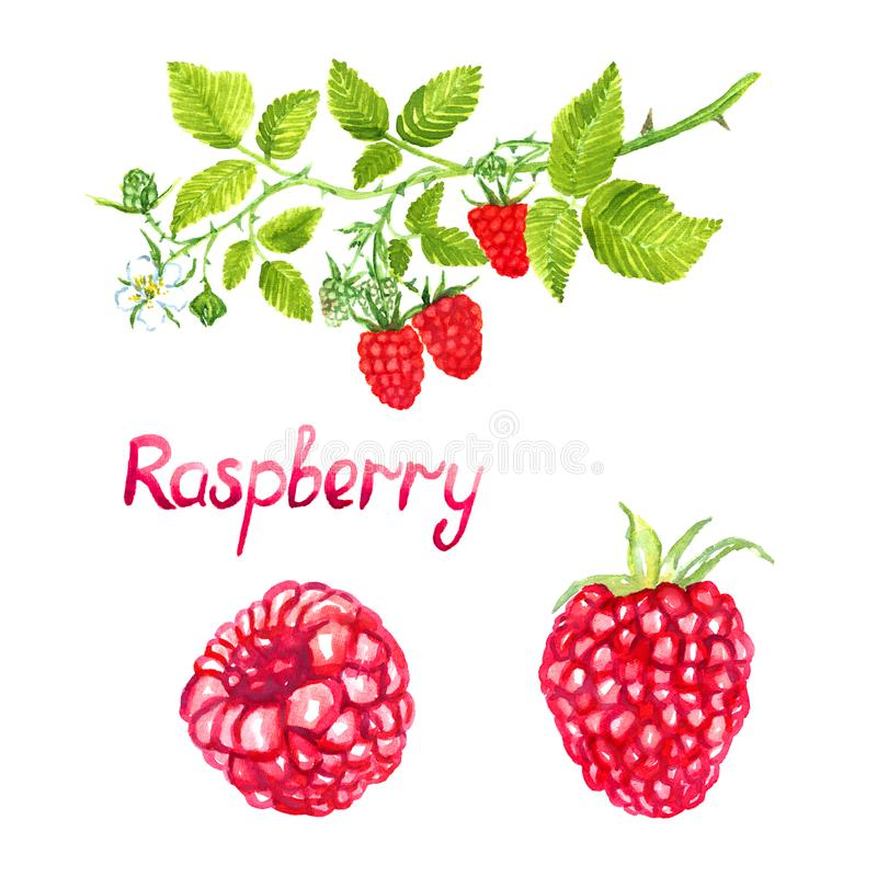 Raspberries branch with flowers ripe pink and green berries stock illustration