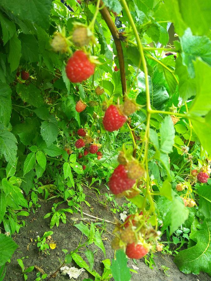 Raspberries. Bushes of ripe raspberries in the daytime. Medicinal and useful raspberry fruits royalty free stock photography
