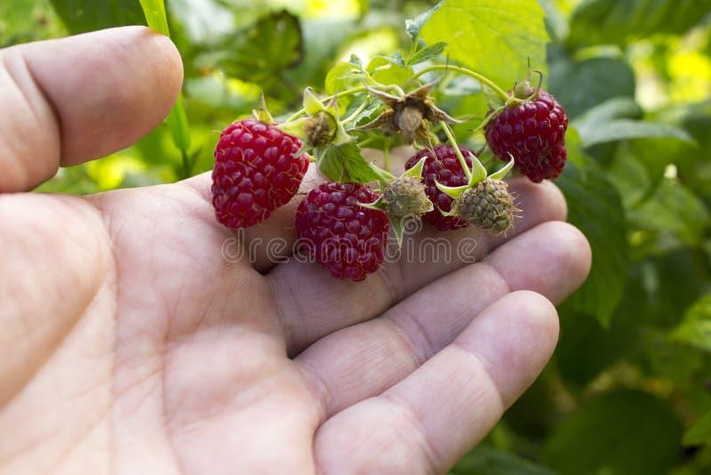 raspberries Framboesa madura no jardim do fruto imagens de stock