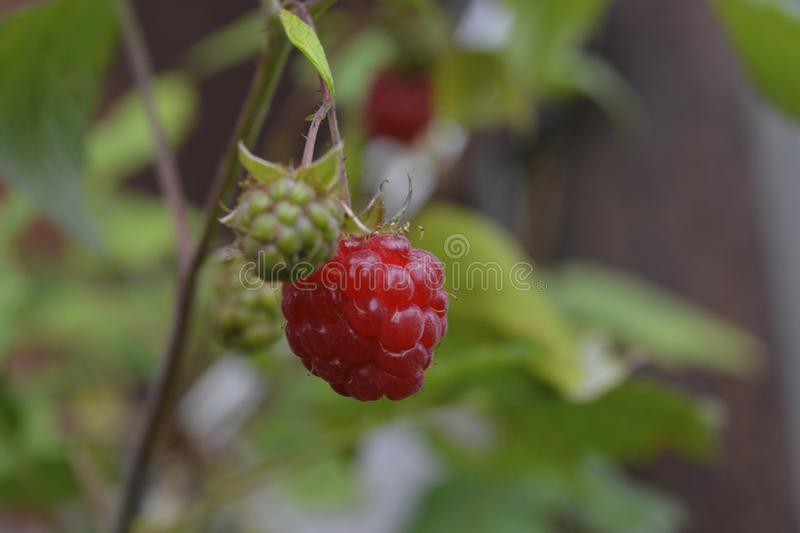Raspberries growing on a branch stock images