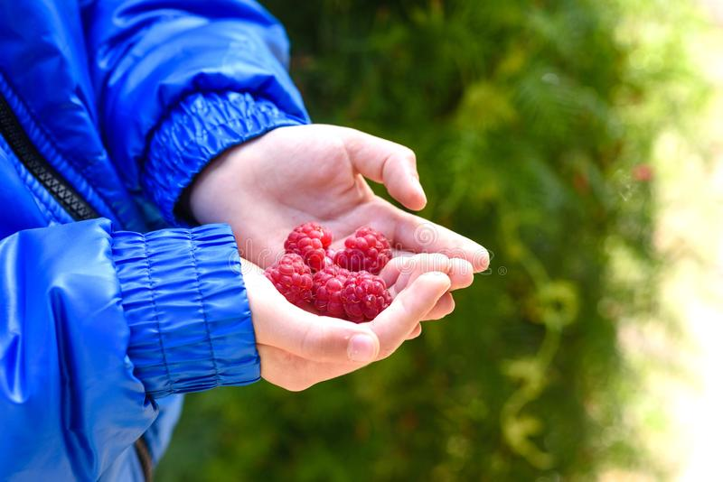 Raspberries in the hand. Autumn harvest of red berries. A child holds a large raspberries in his palm royalty free stock photos