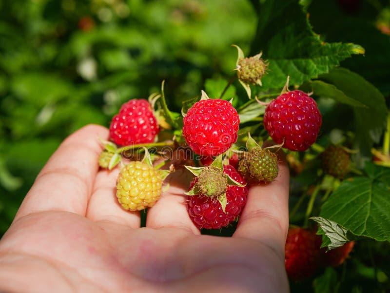 raspberries in hand. Female hand picks berries of ripe red raspberries on a background of green raspberries. Close-up. Healthy stock photo