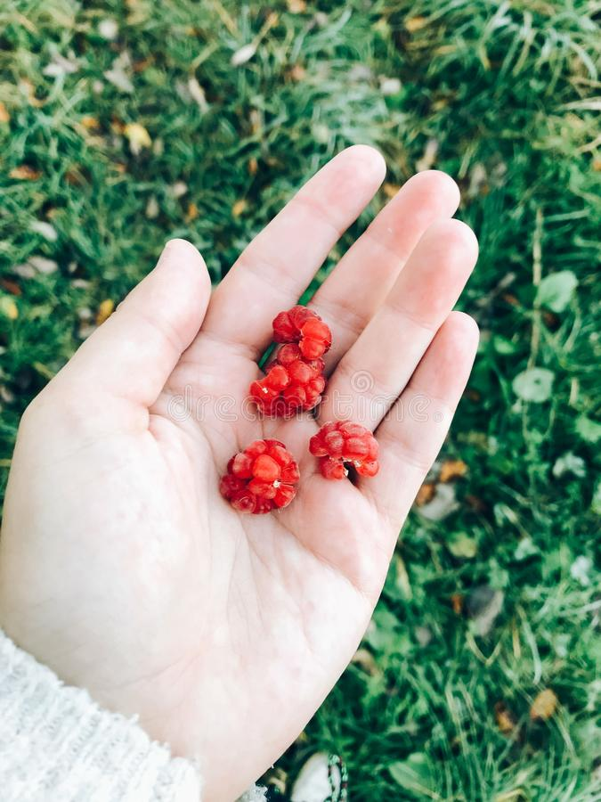 Raspberries in hand. Girl picking raspberries in september in cold morning in woods. Delicious healthy food stock images