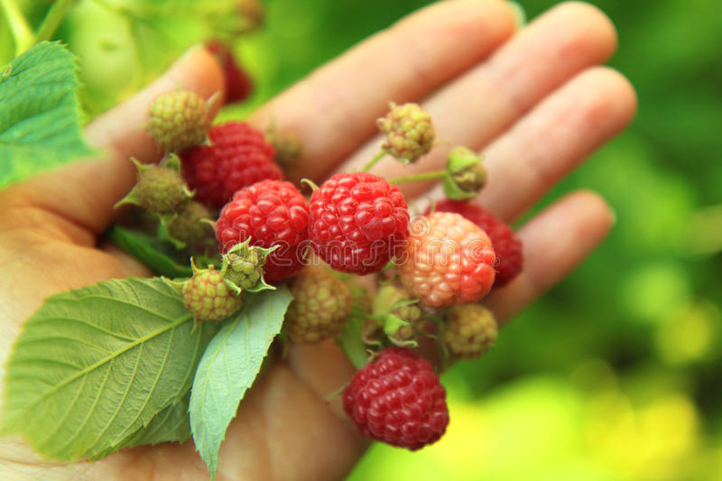 Raspberries in hand. On the green background royalty free stock image