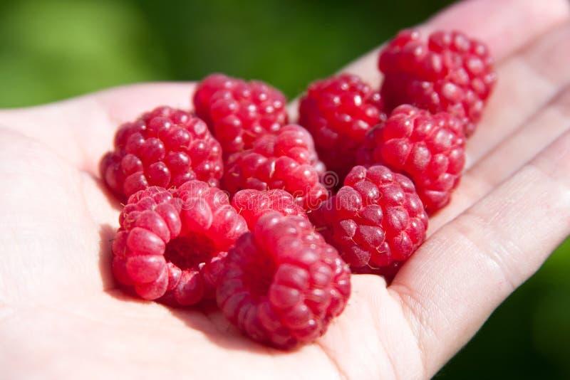 Raspberries in one's hand stock image