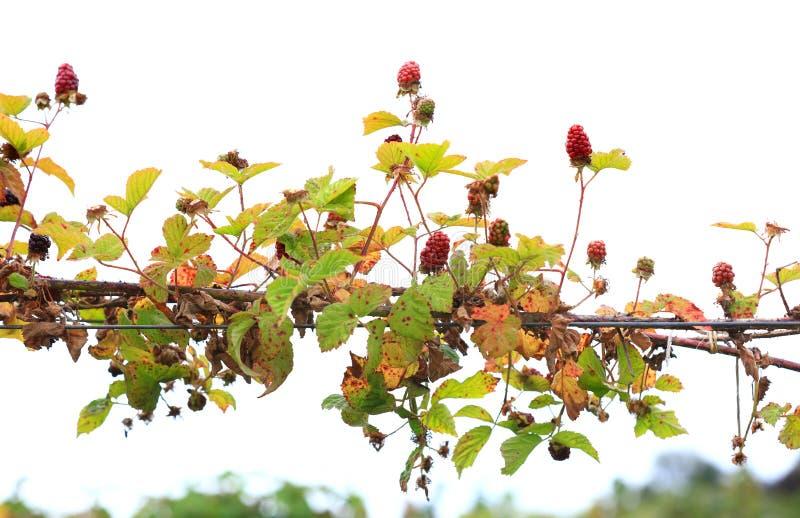 Raspberries on the plant stock photo