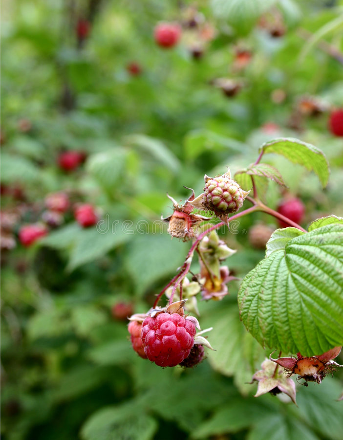 Download Raspberry Stock Image - Image: 199241