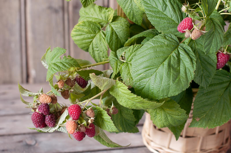 Download Raspberry stock photo. Image of basket, crop, foliage - 25515998