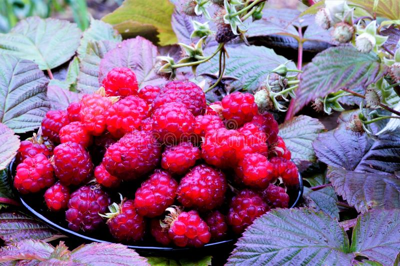 Raspberry berries on leaves background. Raspberry deciduous shrub, has excellent medicinal properties, white flowers, medium-sized royalty free stock photo