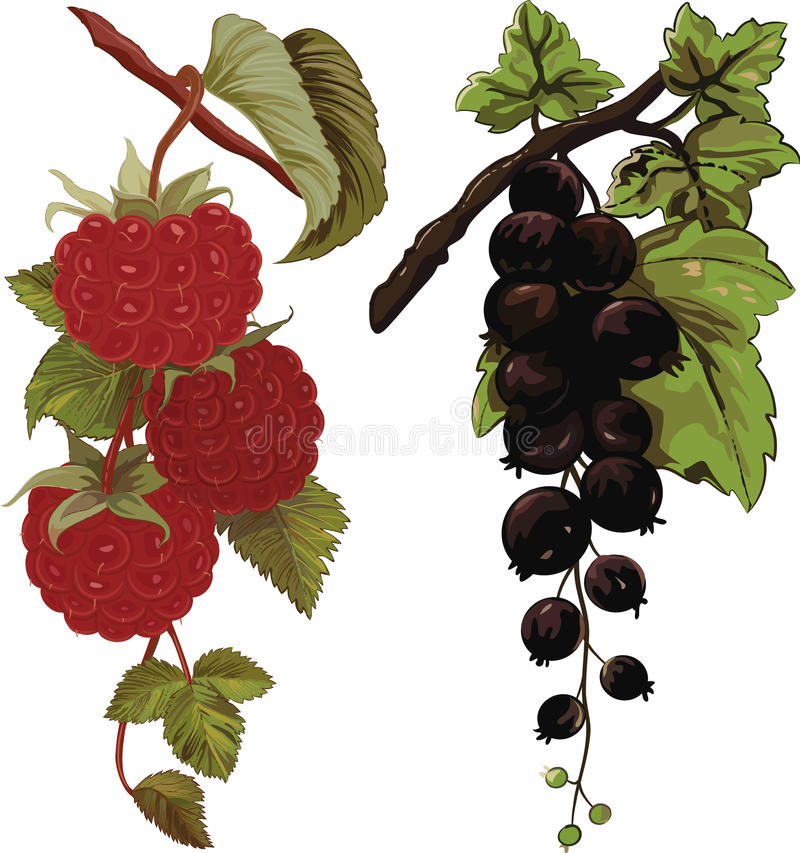 Download Raspberry And Black Currant Stock Vector - Image: 31922719