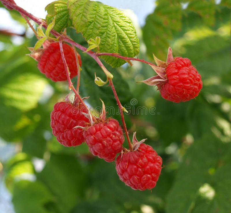Raspberry-bush stock photos