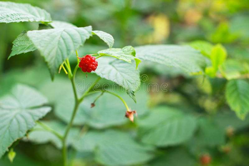 The raspberry royalty free stock photography