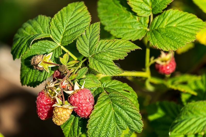 Raspberry in a Bush of raspberry plant in a garden, summer royalty free stock image