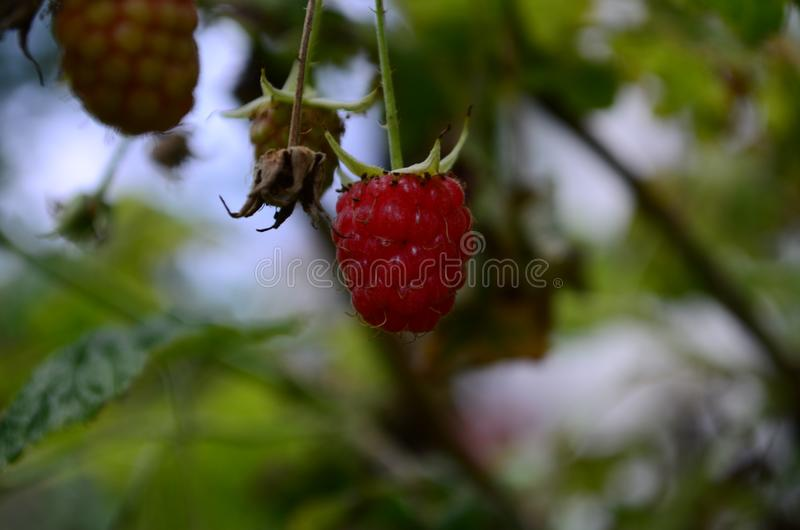 Raspberry bush plant with one ripe berry royalty free stock images