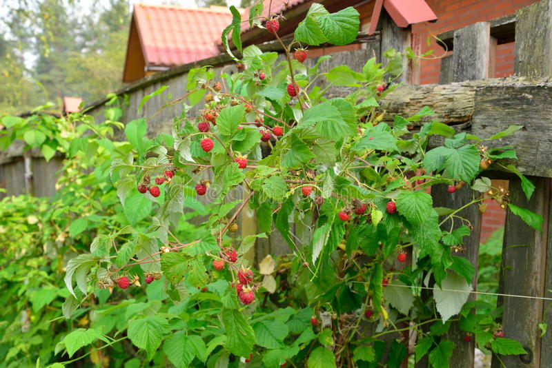 Raspberry Bush with ripe berries in wooden fence stock photography