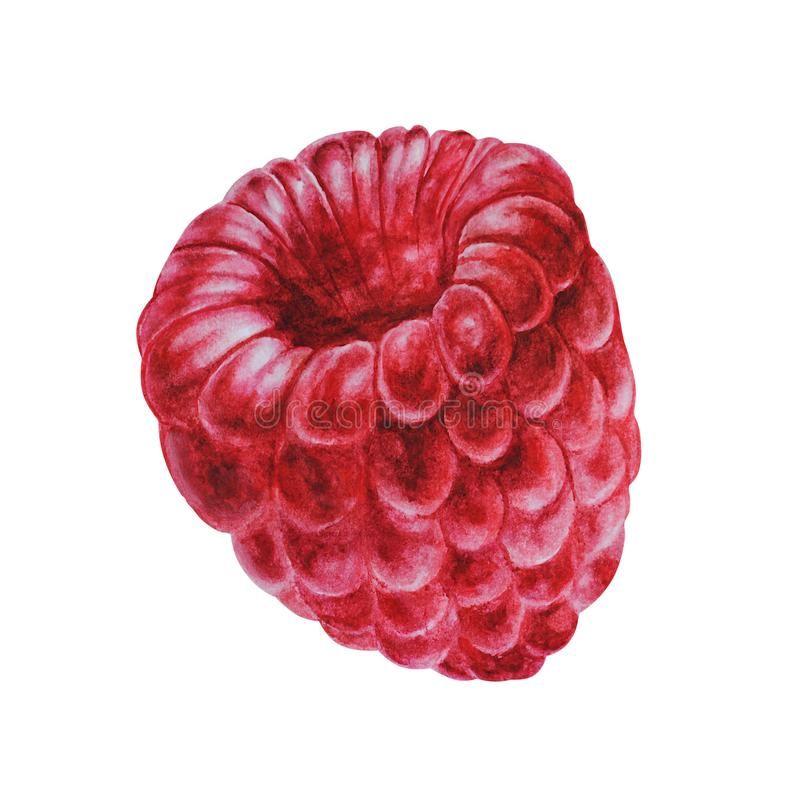 Raspberry, close-up berry, watercolor royalty free illustration