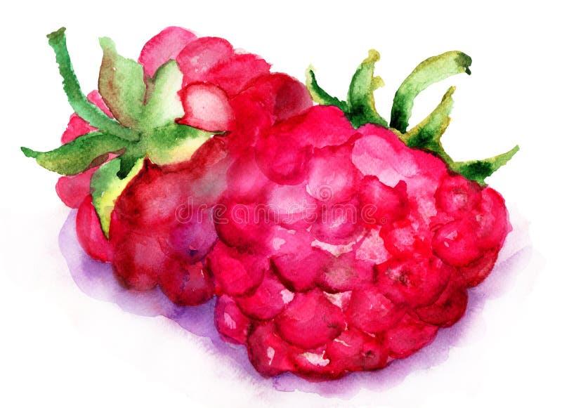 Raspberry fruit vector illustration