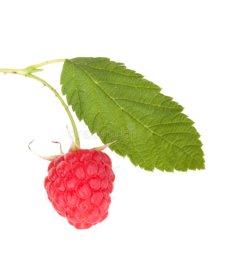 Raspberry fruits berries with leaf royalty free stock image