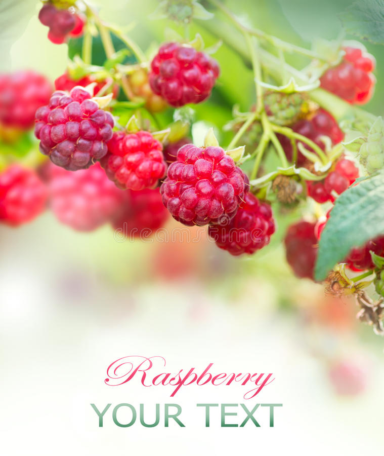 Raspberry. Growing Organic Berries royalty free stock photos