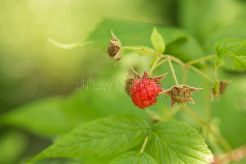 Raspberry Growing On Plant royalty free stock image