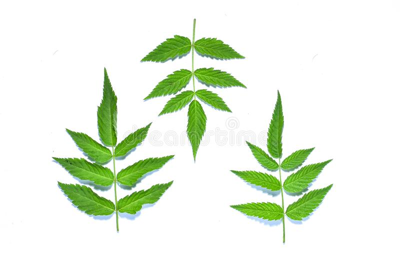 Raspberry leaf, the tropical evergreen vine isolated on white background, clipping path includedLarge heart shaped green l. Raspberry leaf, the tropical stock photography