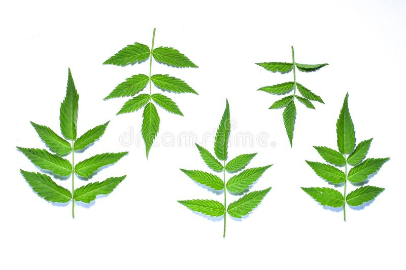Raspberry leaf, the tropical evergreen vine isolated on white background, clipping path includedLarge heart shaped green l. Raspberry leaf, the tropical royalty free stock photography