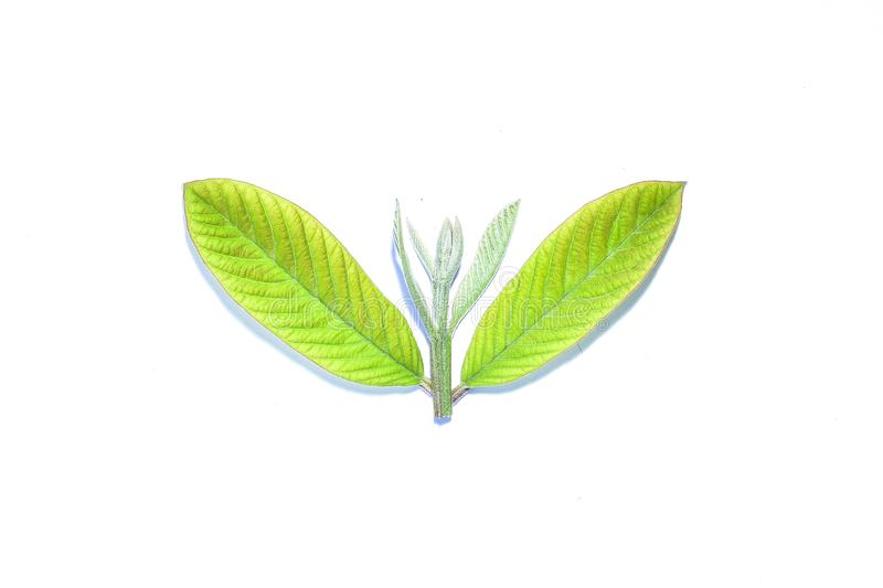 Raspberry leaf, the tropical evergreen vine isolated on white background, clipping path includedLarge heart shaped green l. Raspberry leaf, the tropical stock photos