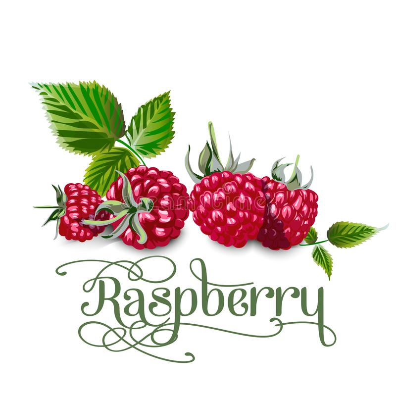 Raspberry leaves and berries isolated on white background. Realistic digital paint. royalty free illustration
