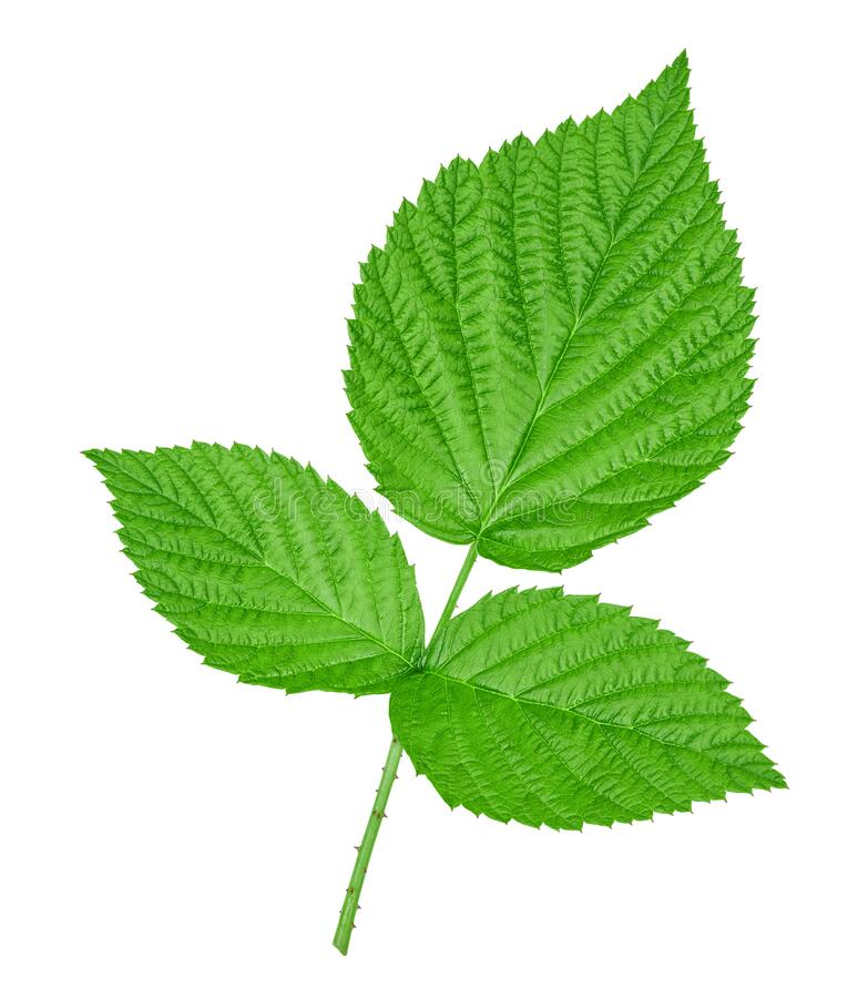 Raspberry leaves on white background royalty free stock photography