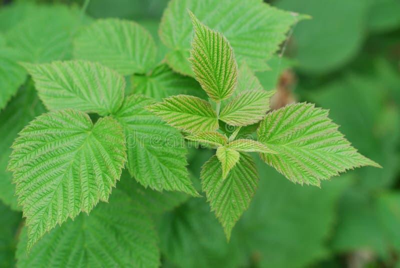 Raspberry plant stock photos