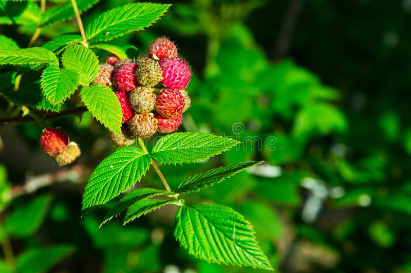 Raspberry in plant royalty free stock image