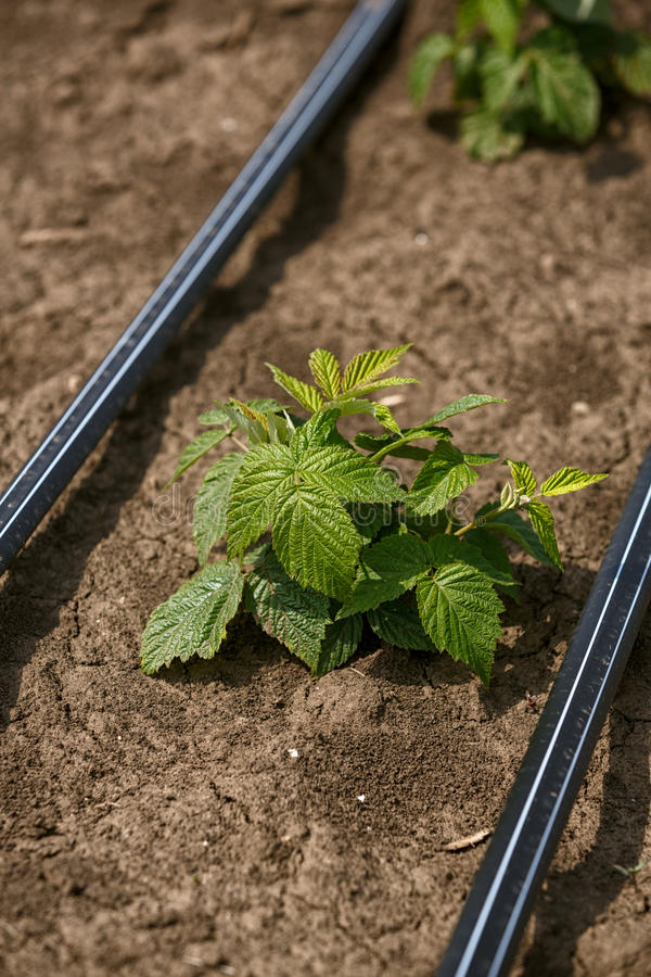 Raspberry plant starting to grow in the spring royalty free stock image