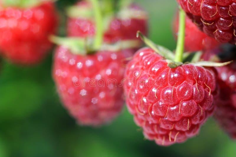Download Raspberry plantation stock photo. Image of plant, fruit - 17985716