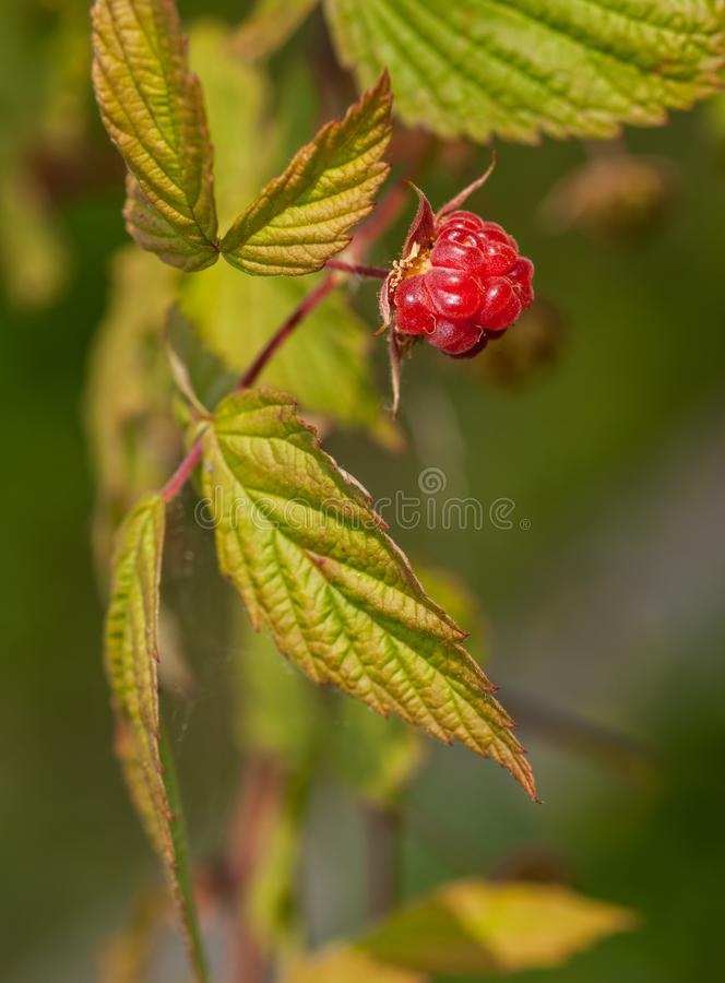 Raspberry - Rubus idaeus - Fruit & Leaves stock photography
