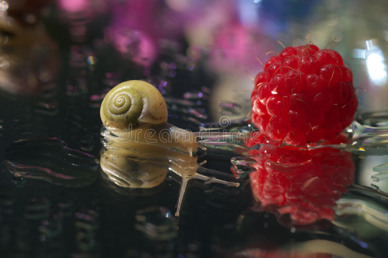 Raspberry and snail - close up royalty free stock photography