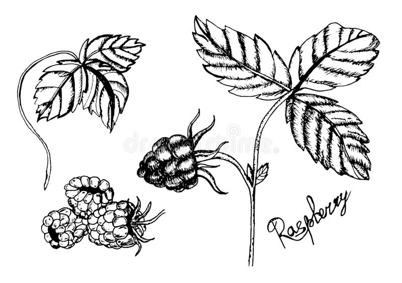 Raspberry vector drawing. Isolated berry branch sketch on white background. Summer fruit engraved style illustration. Detailed vector illustration