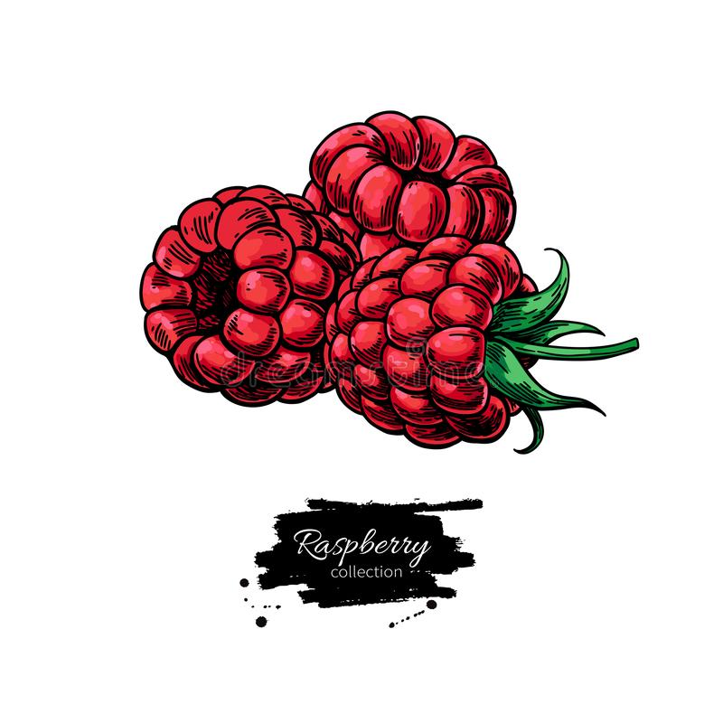 Raspberry vector drawing. Isolated berry group sketch on white b stock illustration