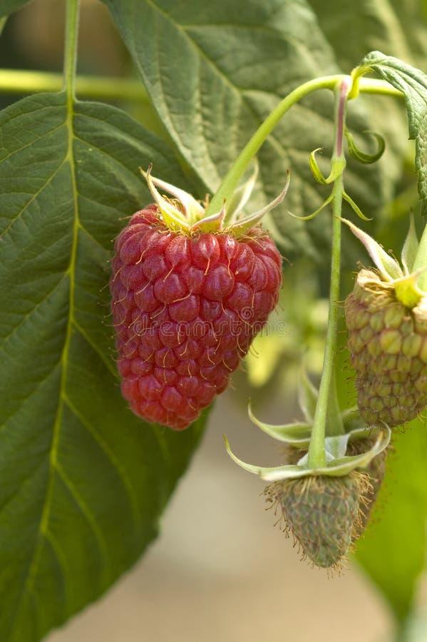Raspberry on the vine stock images