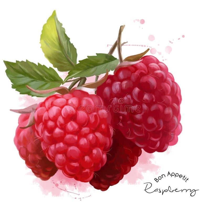 Raspberry watercolor illustration stock illustration