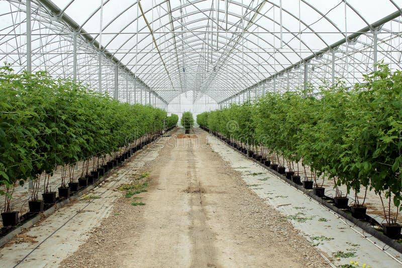 Frambuesa creciente en la plantación hidropónica fotografía de archivo libre de regalías