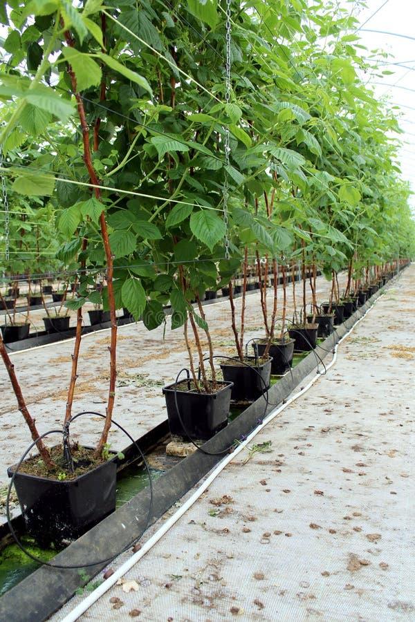 Frambuesa creciente en la plantación hidropónica foto de archivo