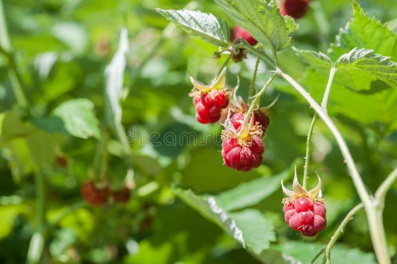 Raspberrys maduro imagens de stock royalty free
