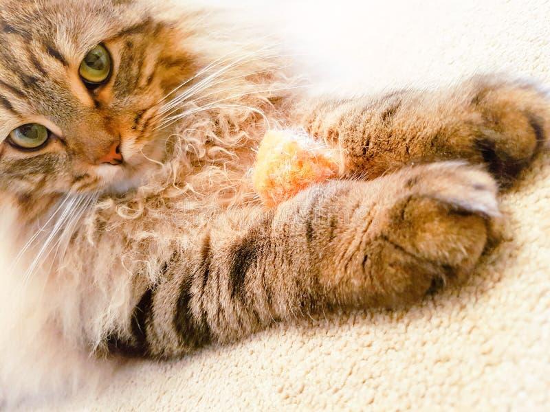 Rasren katt för maine tvättbjörnlodjur med bollen royaltyfri bild