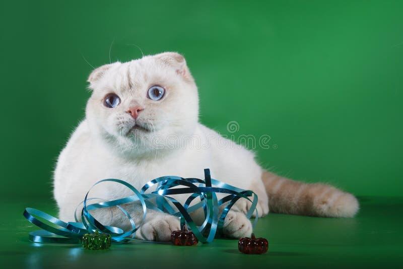 Rasren vit katt med blåa ögon royaltyfri foto